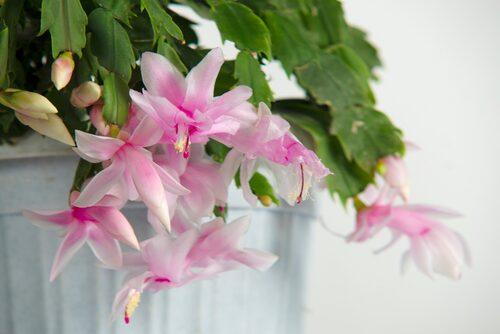 Blommorna finns i flera färger: röda, rosa, gula, vita, lila.