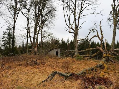 Dasset ser i skogen ser nästan spöklikt ut.