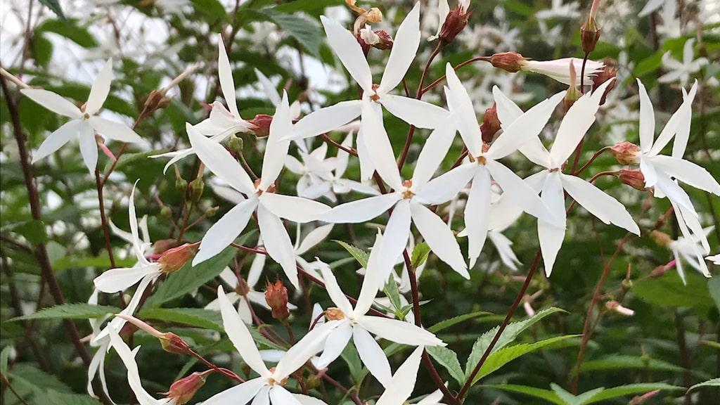Årets perenn 2020 är korad av Perennagruppen. Gillenia trifoliata blev vinnaren.