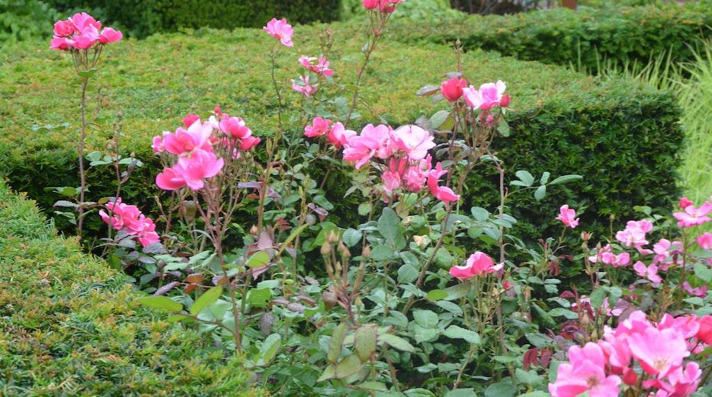 Här bryter de yviga rosorna av fint mot den raka idegranshäcken.