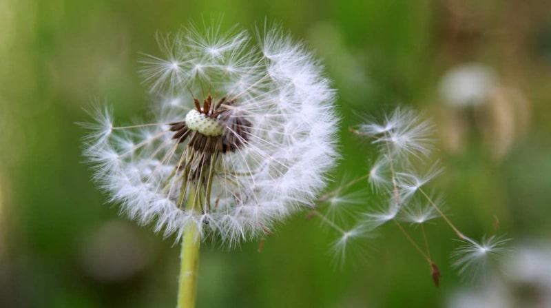 Det går att bekämpa ogräset på flera miljövänliga sätt. Här tipsar vi om åtta olika metoder.