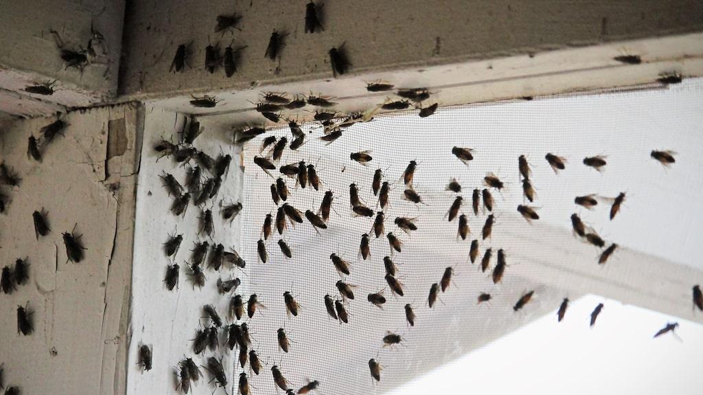 De större husflugorna tar sig in genom håligheter i huset under hösten.