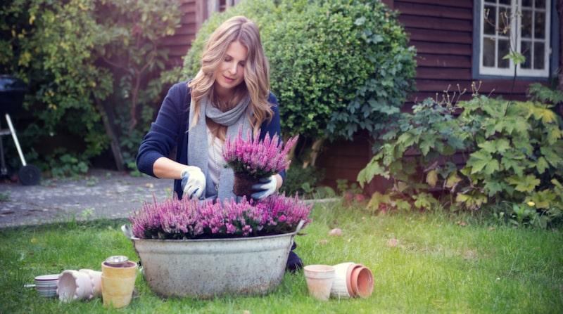 Ljung är den populäraste uteväxten under hösten och vintern. Den vackra rosa ljungen passar bra för vintern eftersom den är frosttålig och kan hålla väldigt länge om man väljer rätt sort, sköter den rätt – och vattnar.