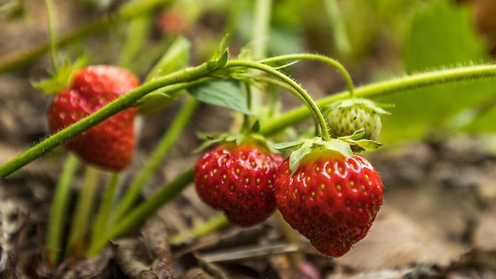 ... färska jordgubbar...