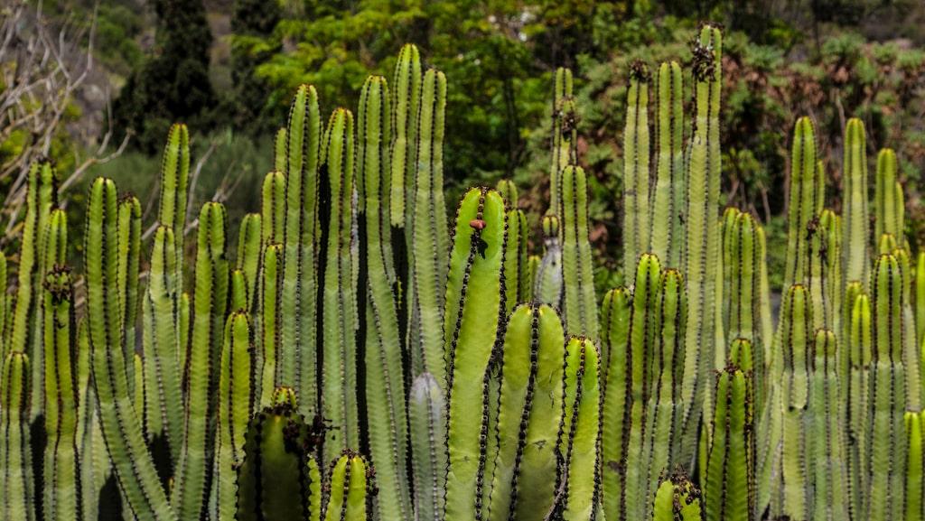 Den inhemska kaktusen Euphorbia canariensis växer över hela ön.