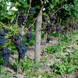 Oland vill bli forst med vin pa gardar
