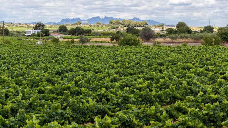 Cava får göras på fler platser, men 95 procent kommer från katalanska Penedès-distriktet.