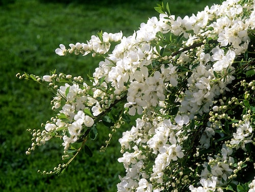 Pärlbuskes vita blomknoppar skimrar som pärlor.