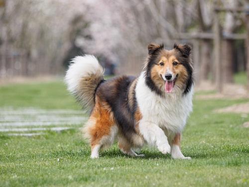 Shetland sheepdog - lite större hund bland små raser.
