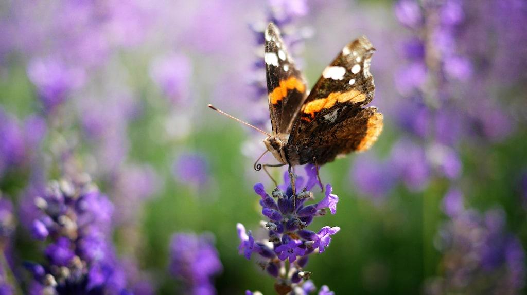 Lavendel och färska kryddor är andra växter som fjärilar gillar.