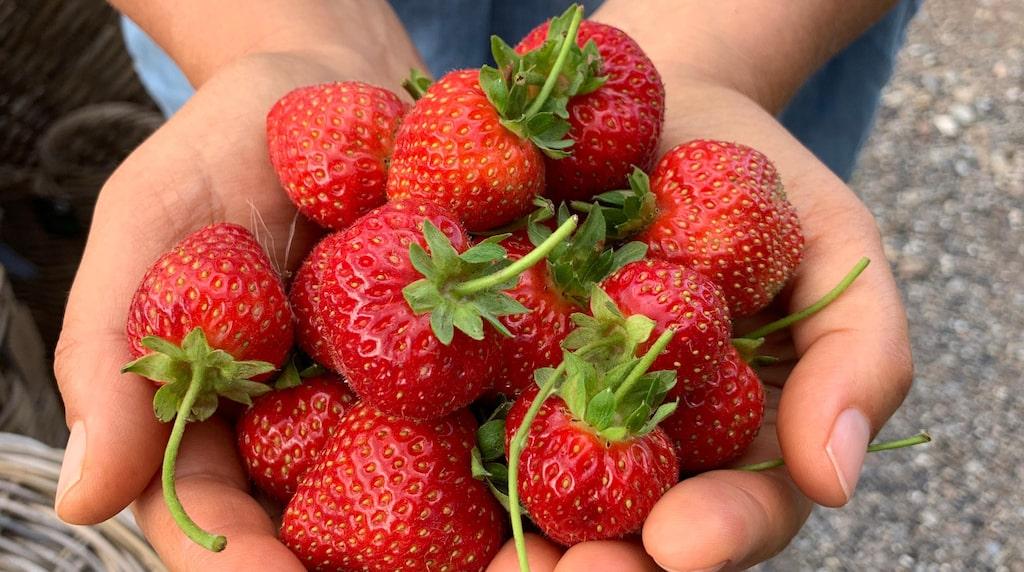 Finns det något bättre än solvarma, självplockade jordgubbar?