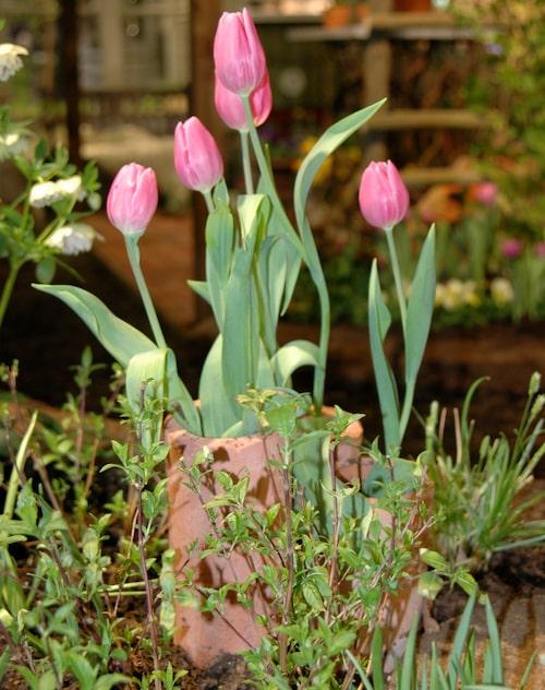 Här återbrukas inte bara fjolårets kompostmull. Även de gamla dräneringsrören har kommit till användning som stöd för tulpanerna.