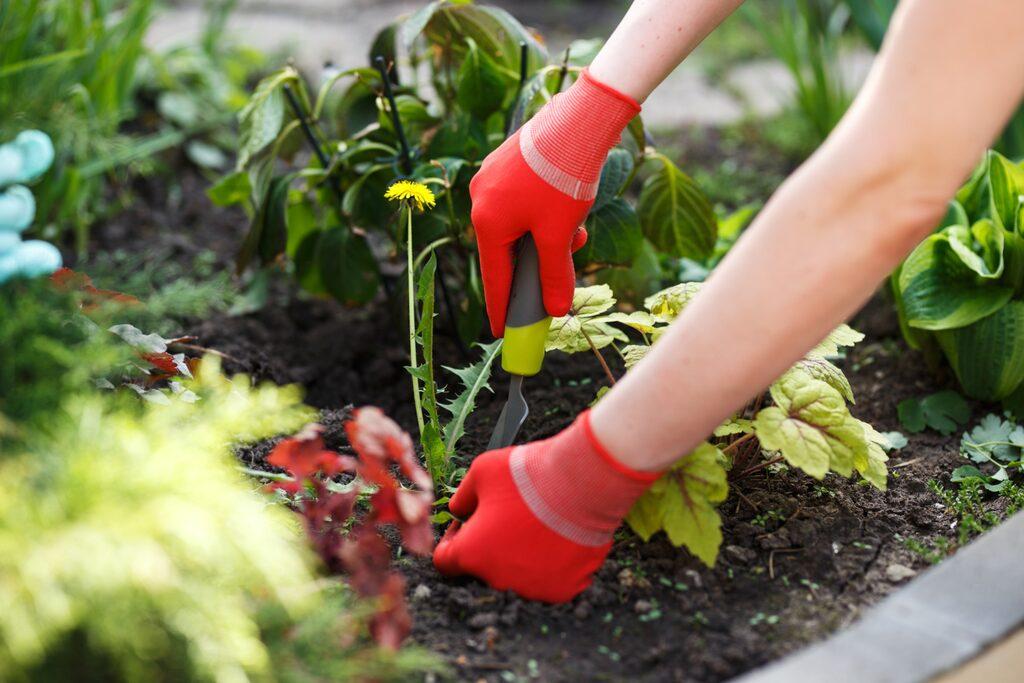 När du ska rensa, använd verktyg (kniv, skruvmejsel) för att underlätta, och vänta tills det regnat då marken är mjukare att gräva.