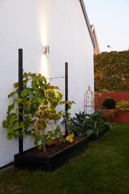 Mot väggen på husets norra gavel växer en vinranka. Grönkålen är dekorativ med sina pampiga, grågröna blad. Allt vackert upplyst.
