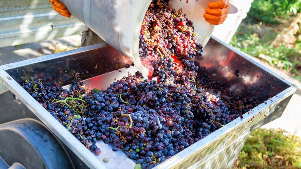 Skördetiden då druvorna tas om hand är en av årets viktigaste perioder för varje vinmakare.