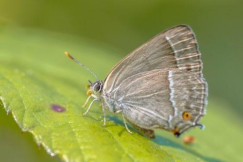 Eksnabbvinge (Favonius quercus).