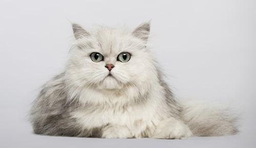 Perser, kompakt katt med ett speciellt utseende.