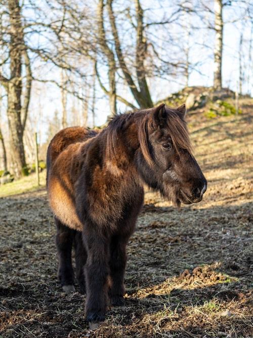 Familjen har två hästar som betar i hagarna intill huset. Islandshästen heter Ljon.