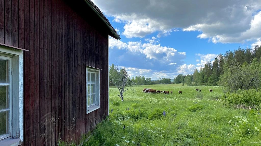 Fin utsikt över ängar och kossor. Tomten som ingår är på 4 341 kvadratmeter.
