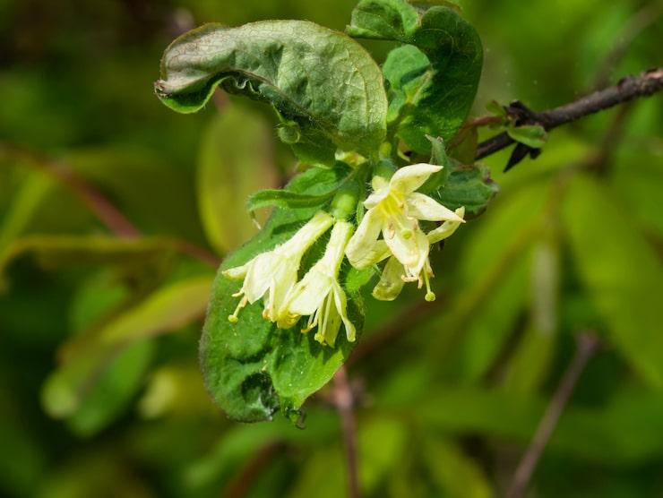 Humlorna är väldigt viktiga för pollineringen eftersom blåbärstry ofta blommar för fullt vid relativt låga temperaturer då bina inte är aktiva och kan inte sprida pollen.