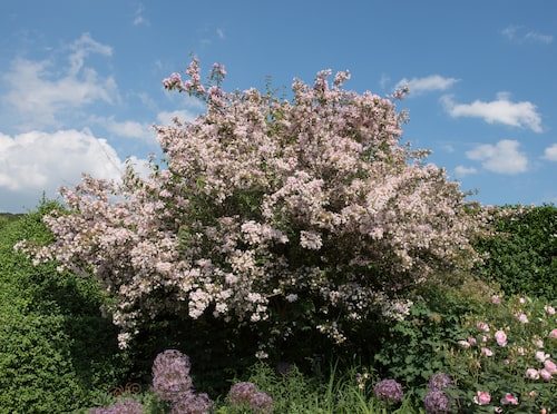 Paradisbusken kan bli rejält stor med tiden, två till tre och en halv meter hög, och två till tre meter bred. Då paradisbusken är väldigt tålig kan den bli över 100 år gammal om den tas om hand väl.
