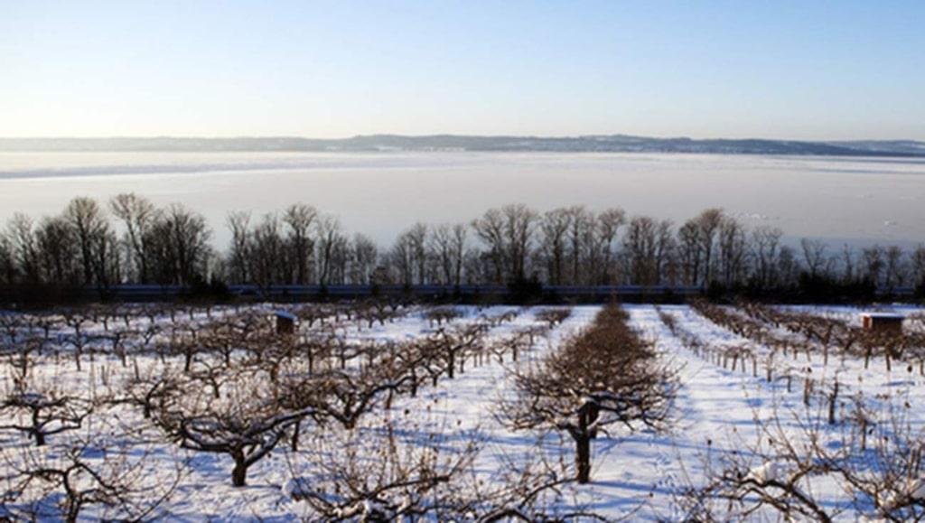 Äppelodling i vinterskrud.