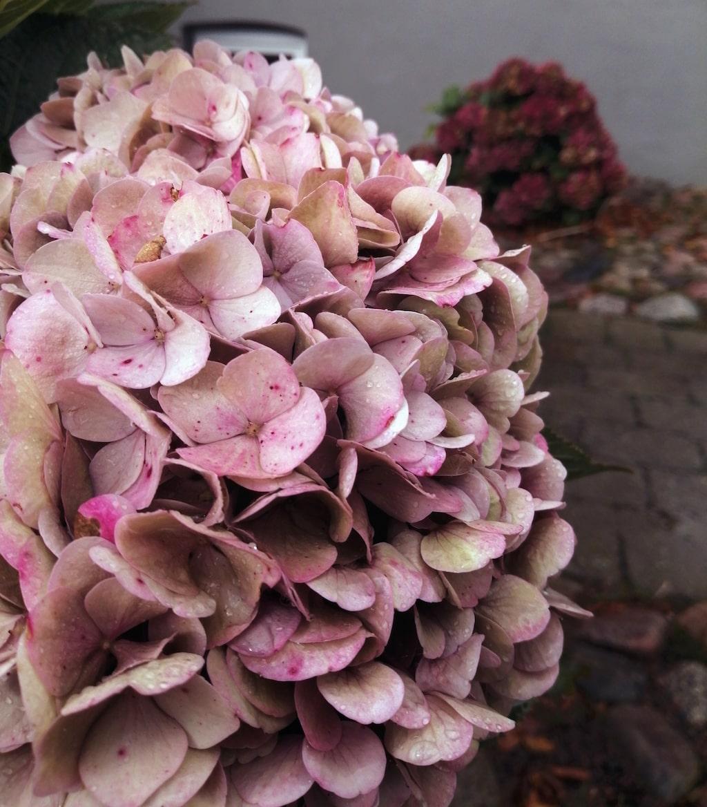 Vackert höstig hortensia passar jättebra i en dörrkrans.