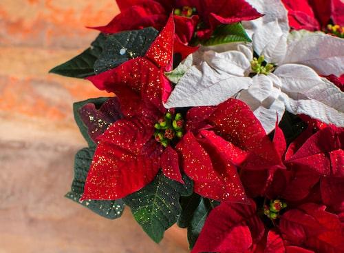 Julstjärna är en återkommande favorit under julen. Det är en färgsprakande blomma som är en uppskattad present till nära och kära.