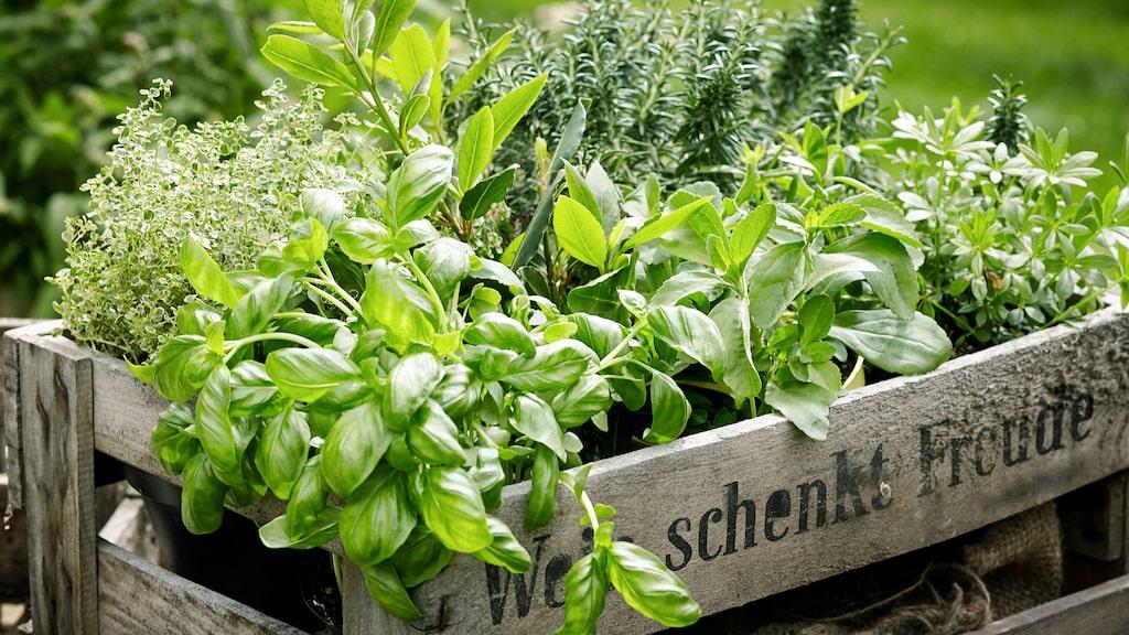 Färska kryddor fyller trädgården med goda dofter och sätter smak på maten. Vem drömmer inte om en hel örtagård där man kan knipsa av det man behöver till sitt kök?