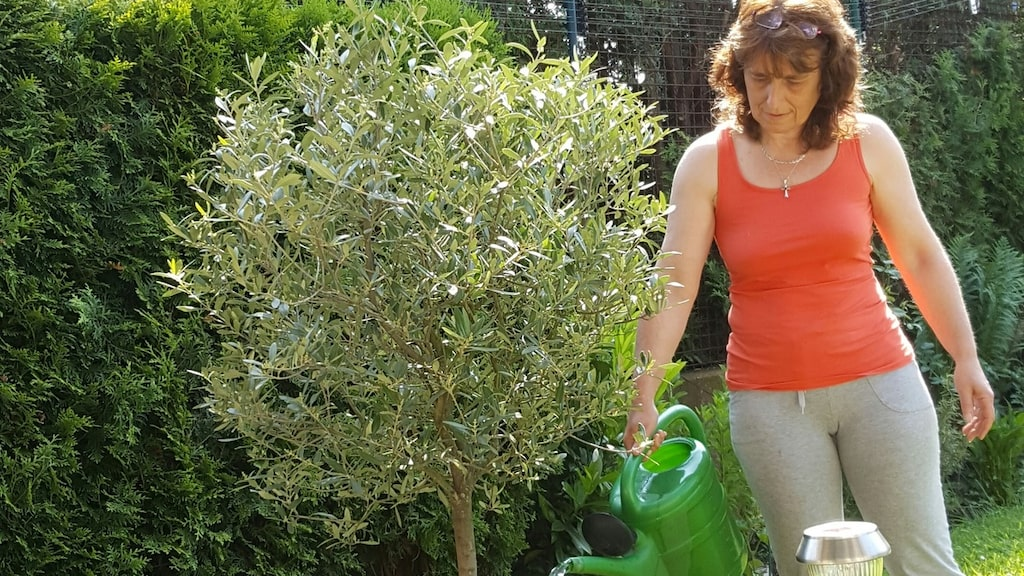 Medelhavsväxter som olivträd, miniapelsiner, citrus och fikon är bara några exempel på växter om blivit allt populärare i svenska trädgårdar.