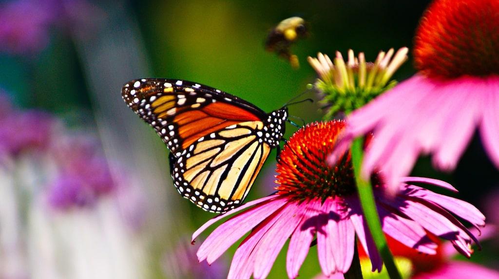 Fjärilarna behöver doftande blommor för att överleva. Rubeckia är en favoritblomma.