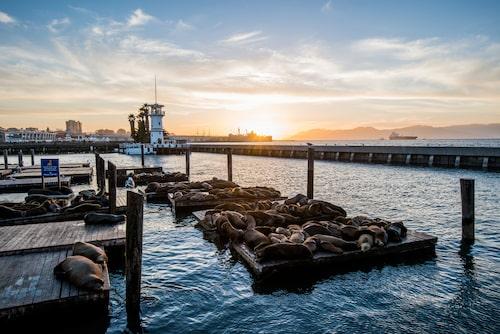 Vid berömda Pier 39 vilar hundratals sjölejon varje dag.