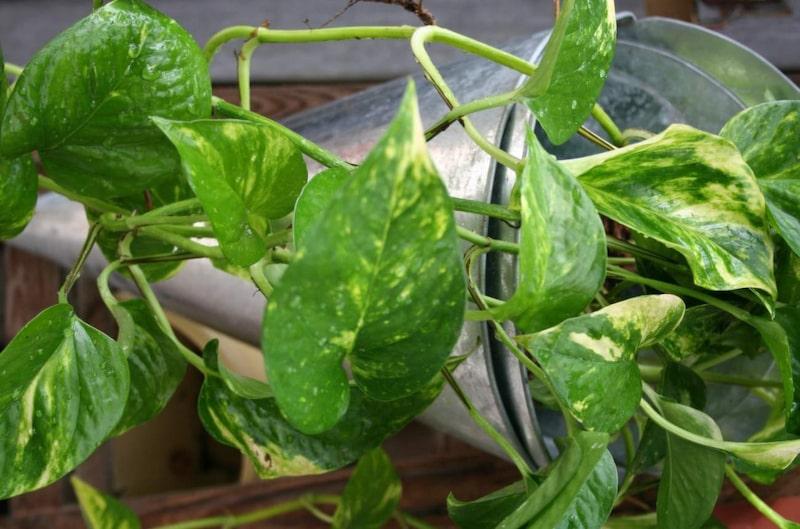Grankulla är en lättskött och tålig växt som ger härlig retrokänsla. Låt den torka upp mellan vattningarna. Näring i vattnet en gång varannan vecka vår till höst.