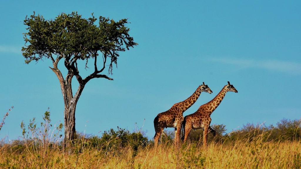 Savannen i Serengeti, Tanzania.