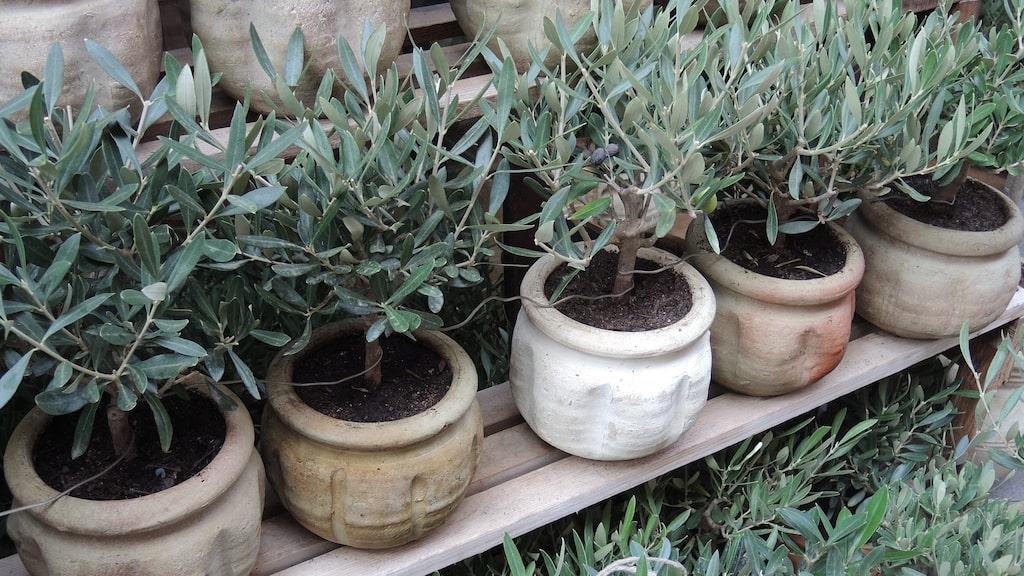 Olivträd är lättskötta om man odlar dem i kruka och tar in dem på vintern. De trivs allra bäst utomhus (om sommaren) på grund av den goda tillgången på ljus och för att luftfuktigheten är högre.