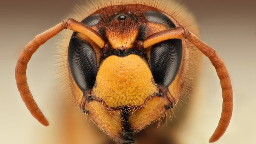 Getingen är ett ganska lättretat djur och blir snabbt aggressiv när den känner sig hotad.