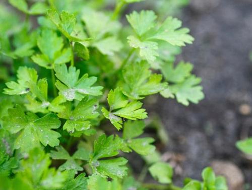 Koriander sägs vara världens mest använda bladkrydda.