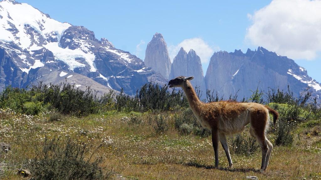 Kameldjuret Guanaco i  nationalparken Torres del Paine i södra Patagonien