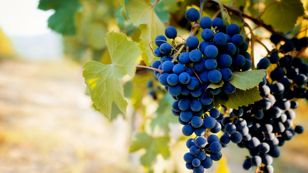 Den blå nebbiolodruvan odlas främst i distrikten Piemonte och Lombardiet i norra Italien.