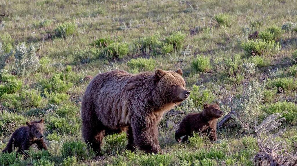 Vilda grizzlybjörna i Yellowstone.