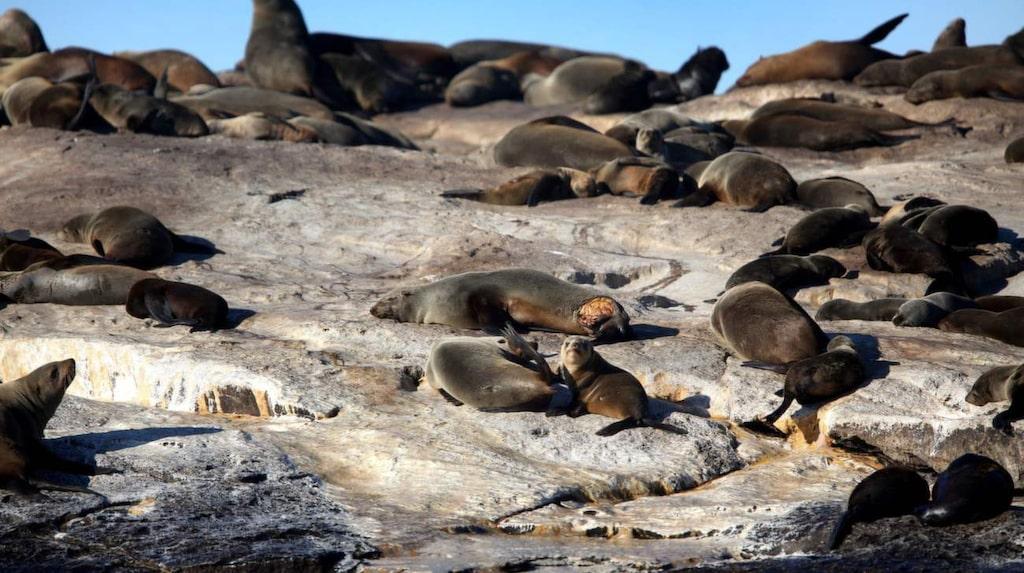 <p>Seal Island – hem åt 50 000 sydafrikanska sälar.<br></p>
