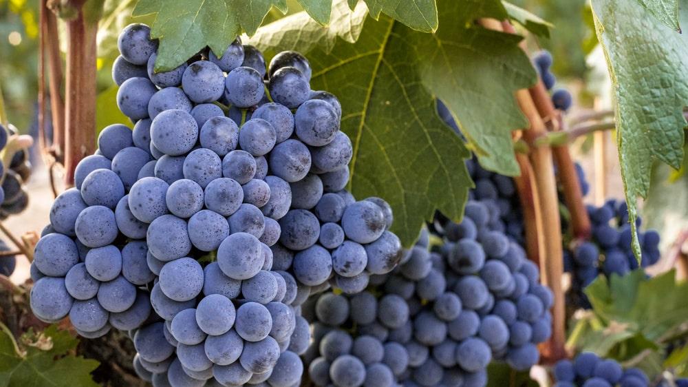 En av världens mest populära druvor heter grenache i Frankrike och garnacha i Spanien.