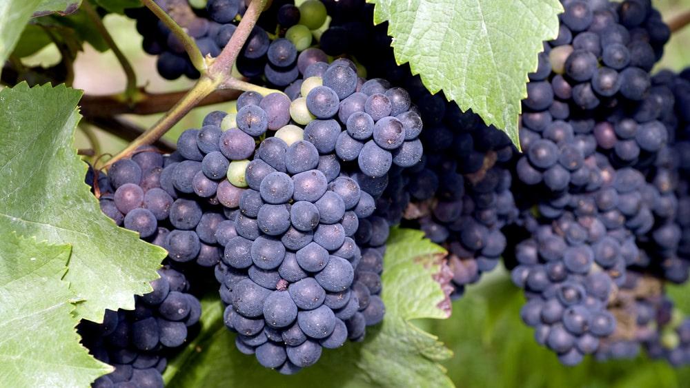 Spanska tempranillodruvan är en av världens mest odlade druvsorter.