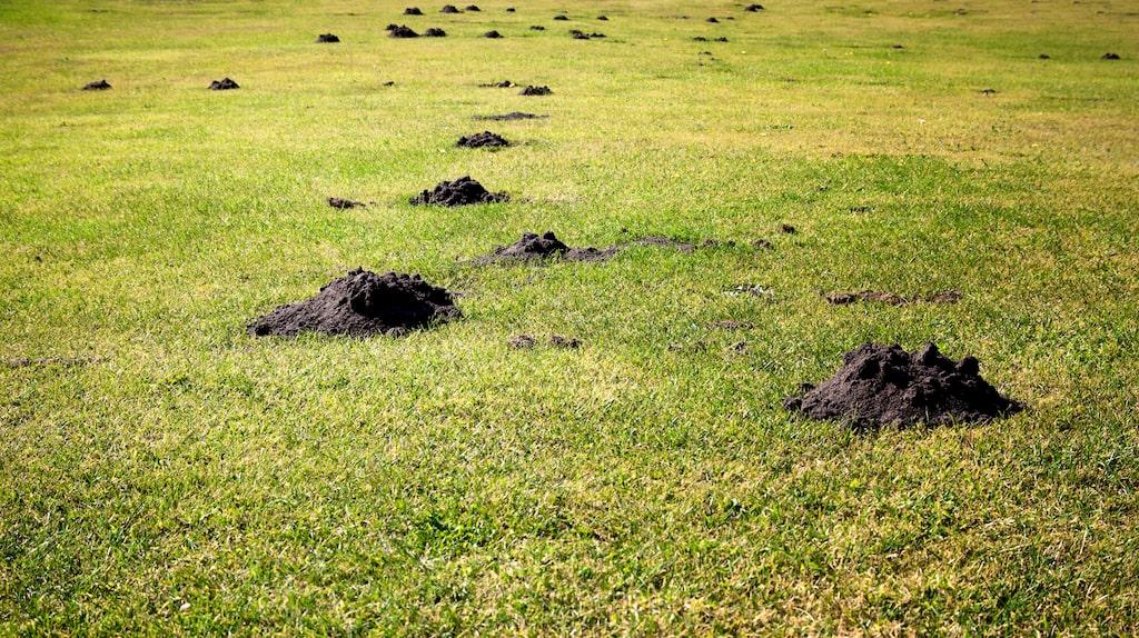 Mullvadens gångar under marken är ett stort problem för både hus- och markägare. Det inte bara ser ut som ett slagfält, de förstör på många sätt och kan också vara farligt.