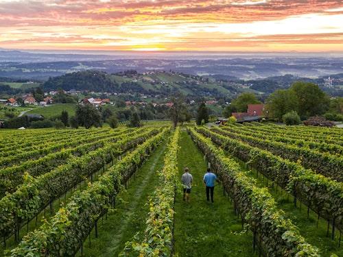 Perfekta rader of vinrankor växer på de gröna kullarna i västra Steiermark.