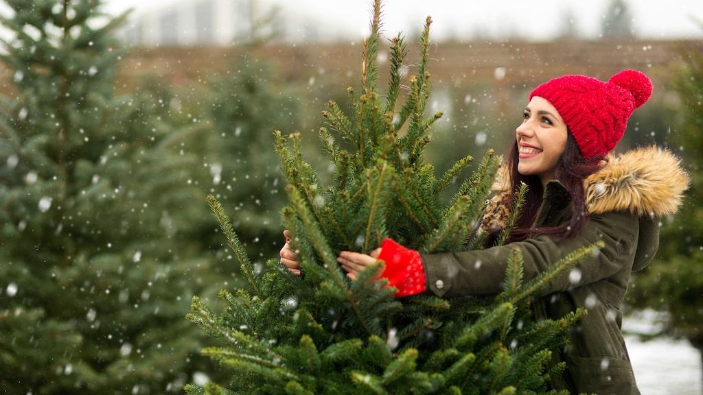 Vilken julgran ska jag välja? Det kan vara svårt att veta. Rödgranen är klassisk, kungsgranen är mäktig, tallen trendig och plastgranen smidig – men inte så miljövänlig. Vi hjälper dig att välja rätt.