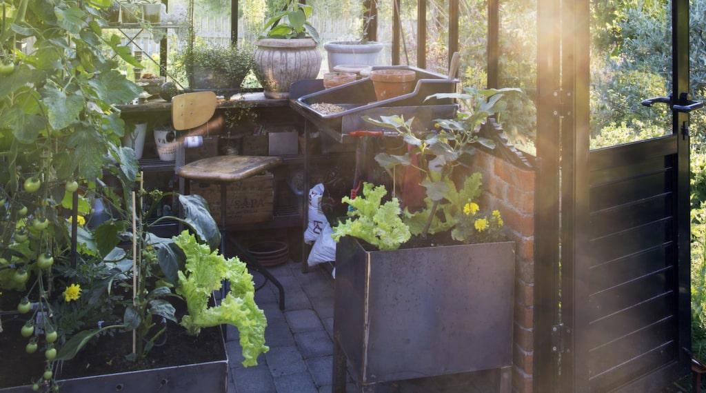 Växthuset är rymligt och ska erbjuda både nytta och nöje. Här växer bland annat slanggurka, tomater och paprika. I lådan som Per gjort står ett fikonträd och lite sallad. I taket slingrar en passionsblomma.