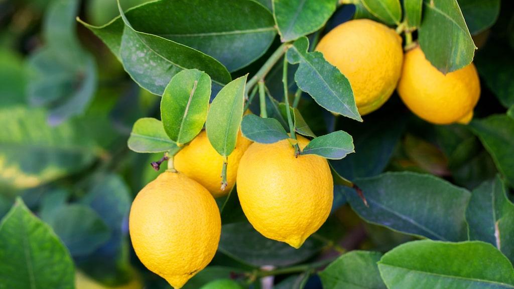 Citrusträd är både dekorativa och vackra, och man kan ha dem i flera år om man tar hand om dem väl.
