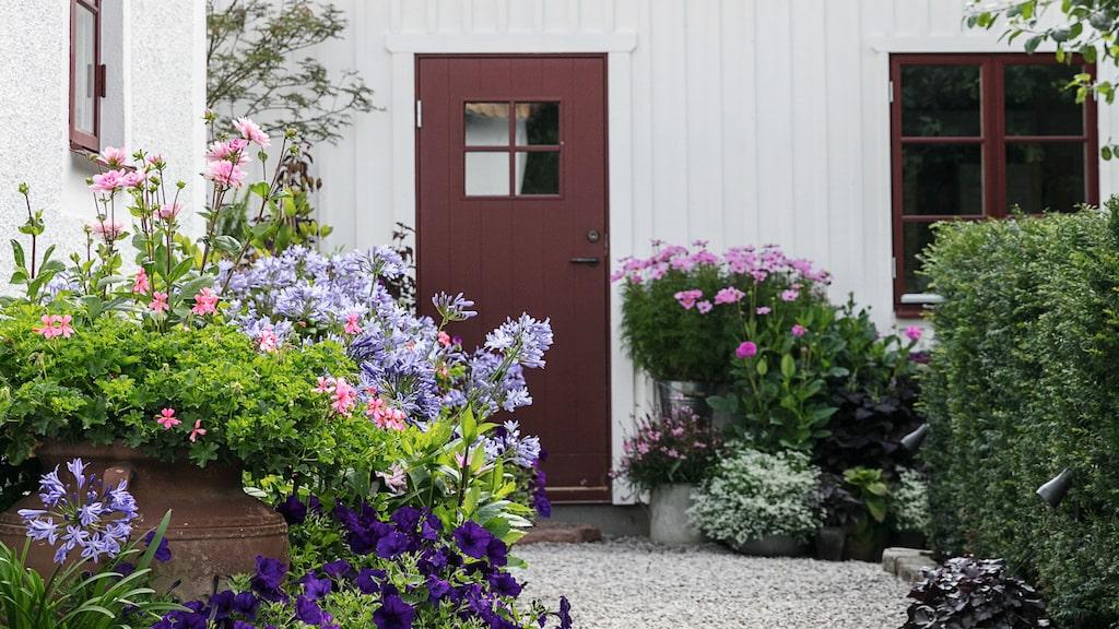 Stora delar av trädgårdens blomsterprakt kommer från krukor i stora grupper. På vägen till trädgårdsboden växer Afrikas blå lilja, hängpelargoner och petunior.