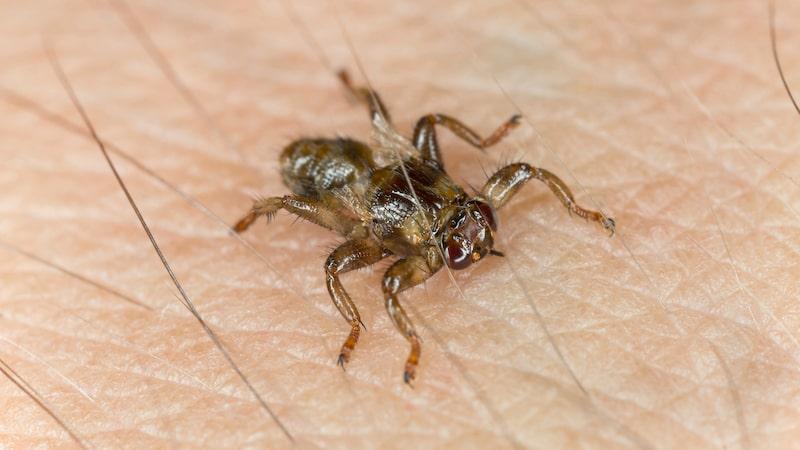Älgflugan suger blod från älg och hjort men angriper ibland också människor.